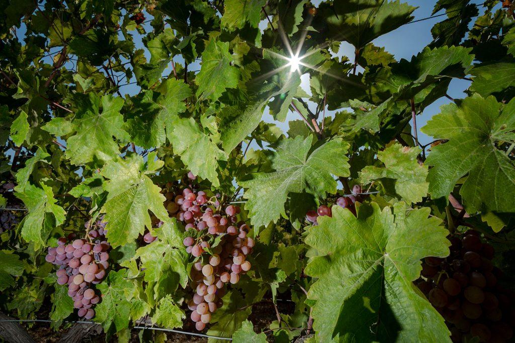 ampelones-vakakis-wines-samos-07