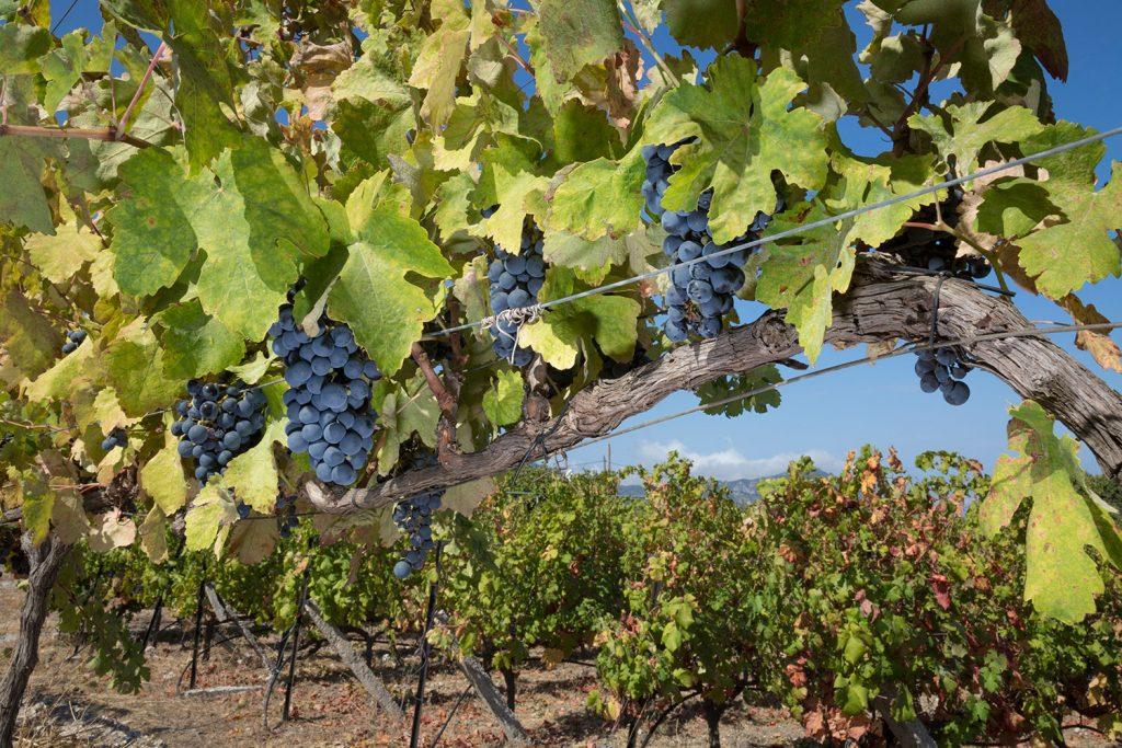 ampelones-vakakis-wines-samos-081